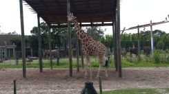 Giraffe and elephants.