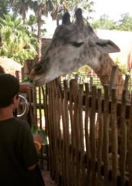 Giraffe fed